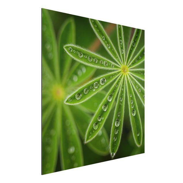 Aluminium Print - Morgentau auf Lupinenblättern - Quadrat 1:1
