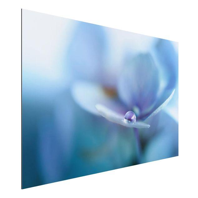 Aluminium Print - Wassertropfen Hortensienblüte - Querformat 2:3