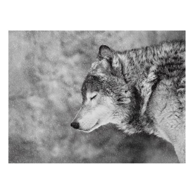 Aluminium Print - Winter Wolf - Querformat 3:4