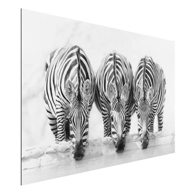 Aluminium Print - Zebra Trio schwarz-weiß - Querformat 2:3
