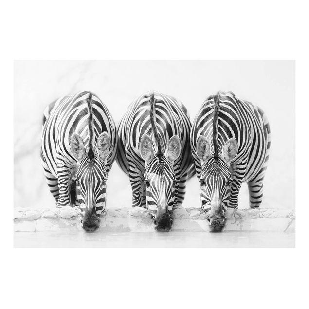 Forex Fine Art Print - Zebra Trio schwarz-weiß - Querformat 2:3