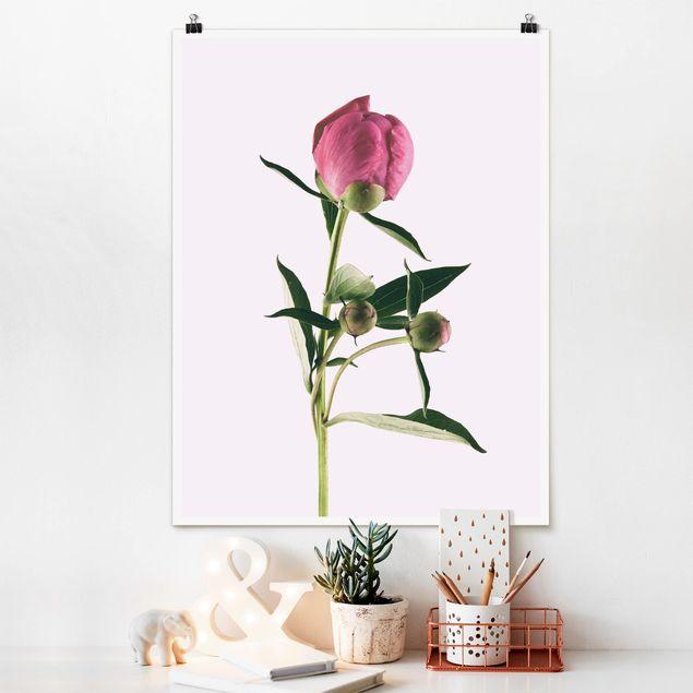 Poster - Pfingstrose Pink auf Weiß - Hochformat 4:3