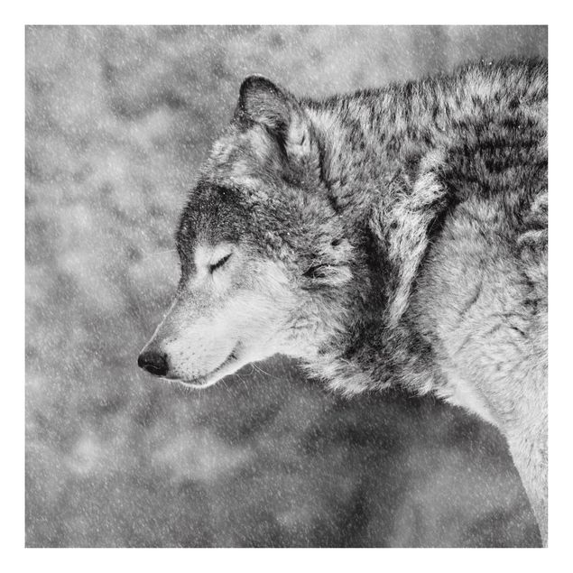 Forex Fine Art Print - Winter Wolf - Quadrat 1:1