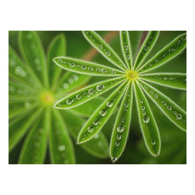 Glas Spritzschutz - Morgentau auf Lupinenblättern - Querformat - 4:3
