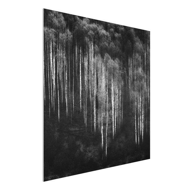 Forex Fine Art Print - Birkenwald in Aspen - Quadrat 1:1