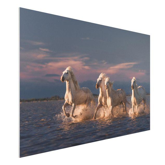 Forex Fine Art Print - Wilde Pferde in Kamargue - Querformat 2:3
