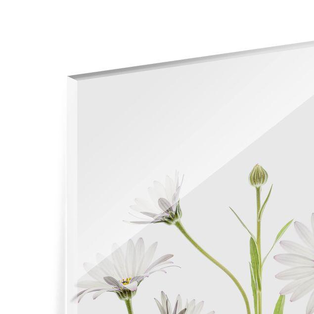 Glas Spritzschutz - Kap - Gänseblümchen - Querformat - 4:3