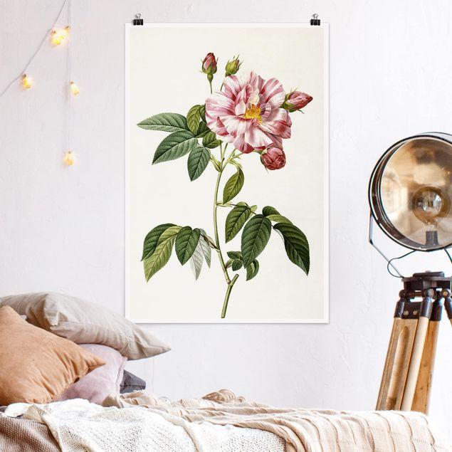 Poster - Pierre Joseph Redouté - Rosa Gallica-Rose - Hochformat 3:2
