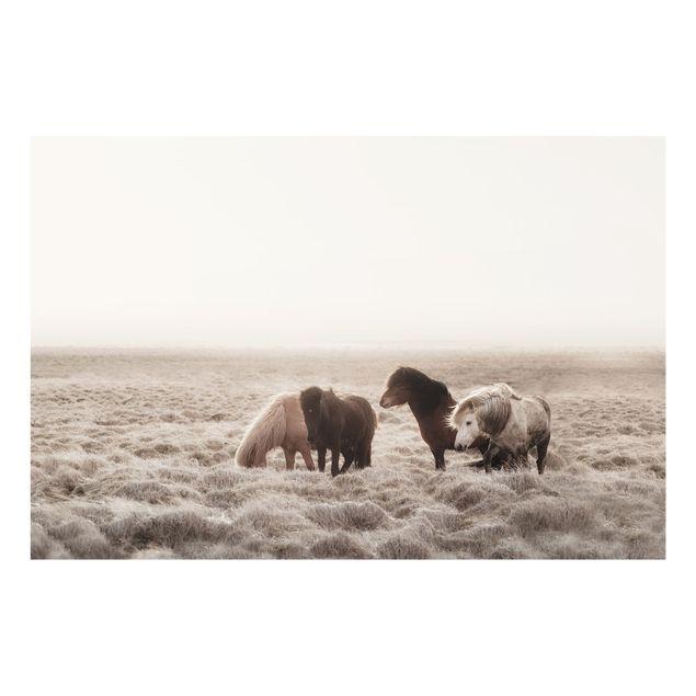 Spritzschutz Glas - Island Wildpferde - Querformat 3:2