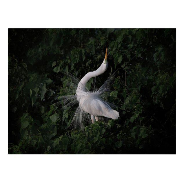 Leinwandbild - Tanzender Silberreiher vor Schwarz - Querformat 4:3