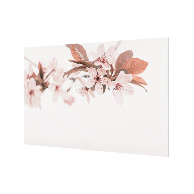 Spritzschutz Glas - Zarte Kirschblüten am Zweig - Querformat 3:2